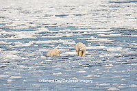01874-12116 Polar Bear (Ursus maritimus) mother and cub jumping on ice in Hudson Bay  in Churchill Wildlife Management Area, Churchill, MB Canada