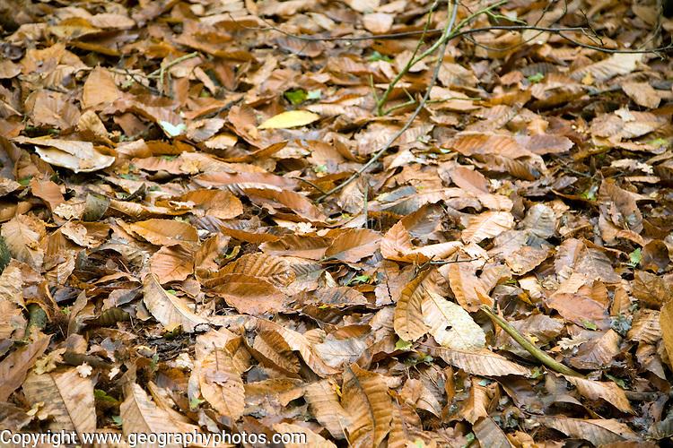 Fallen sweet chestnut tree leaves on the ground