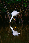 Snowy egret, Ding Darling National Wildlife Refuge, Florida
