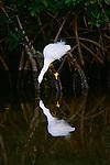 Snowy egret, Ding Darling National Wildlife Refuge, Florida