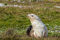 Antarctic fur seal, Arctocephalus gazella, aka Kerguelen fur seal, rare, leucistic pup, Fortuna Bay, South Georgia, Atlantic Ocean