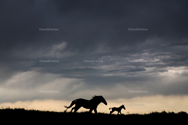 A small band of mustangs silhouettes against the sky of dark storm clouds in North Dakota.
