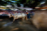 Cow Racing - Vietnam