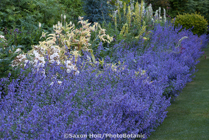 Catmint, Nepeta 'Walker's Low' flowering along perennial border in Gary Ratway garden