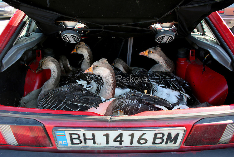 A woman sells geese from the trunk of her car, at an outdoor market in Vidin, Bulgaria on October 18th, 2014. Many Bulgarians sell personal belongings, fruit and vegetables grown at home, or resell goods as a supplement to their primary earnings. Bulgaria is still one of the poorest, most corrupt nations in the European Union, its post-1989 hopes wilted by political instability, high crime rates and skyrocketing inflation. While Bulgarians can now freely vote and protest without much threat to their freedom, their new oppressor is corruption - which is at a 15 year high, across political and civil sectors alike. Despite what democracy has changed in Bulgaria, the daily struggles of its populace remain largely untouched, trapped in a post-communist time capsule.