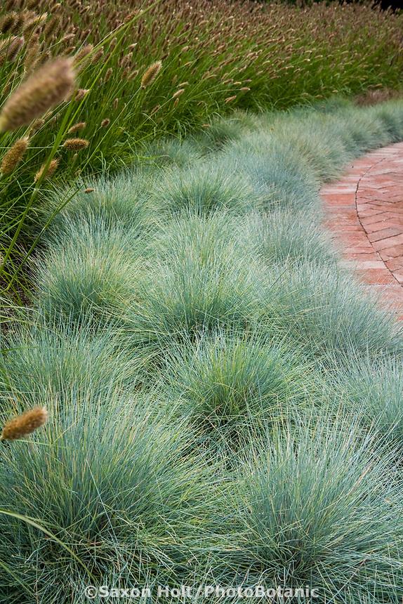 Festuca cinerea (F. glauca) Blue Fescue grass garden border edging patio with Fountain Grass, Pennisetum messiacum