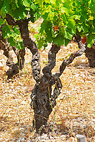 Domaine d'Aupilhac. Montpeyroux. Languedoc. Vines trained in Gobelet pruning. Old, gnarled and twisting vine. Mourvedre grape vine variety. Terroir soil. France. Europe. Vineyard. Soil with stones rocks.