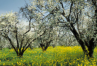 Almond trees in blossom amidst a meadow of bright yellow flowers, flowering trees, agriculture. California.