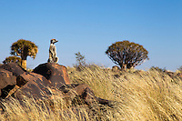 Meerkat a.k.a. Suricate (Suricata suricatta).