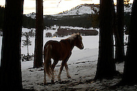 Wild Horses struggle to find food in the snow packed mountains of eastern Oregon. About 60 mustangs that are remnants of Indian and settlers horses roam the Big Summit Horse Territory.