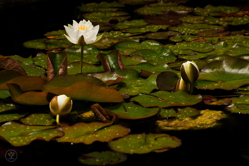 White water lily, Larkwhistle Gardens, Bruce Peninsula, Ontario, Canada.