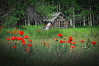 """POLEBRIDGE POPPIES""<br />