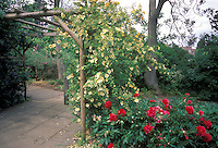 Single Yellow climbing roses vine and red peonies Paeonia perennial underplanted for a fragrant walk in a scented garden in summer. Possibly Rosa hugonis on wooden arbor trellis, stone path, rambling cottage garden style