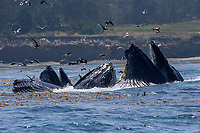 Feeding Humpback Whales, Point Lobos, CA