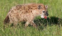 Spotted Hyena steals a hoof from Lions feeding on a Cape Buffalo, Masai Mara