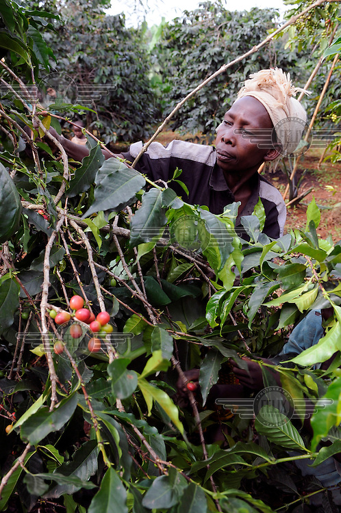 A worker picks coffee berries in Buginyanya on Mount Elgon where Arabica coffee is produced. Coffee is Uganda's main cash crop but is under threat from rising temperatures and pests all due to climate change.