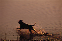 An  Irish setter runs through the water near dusk.