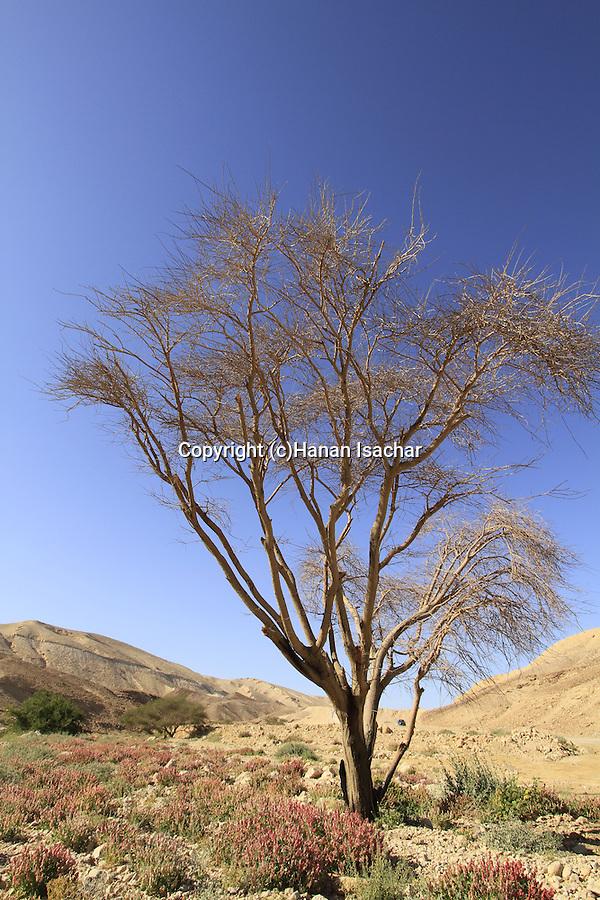 Israel, Negev, Rumex cyprius flowers in Wadi Tzafit