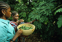 Farmer picking leaves of Indicofera indica used for dyeing fabrics