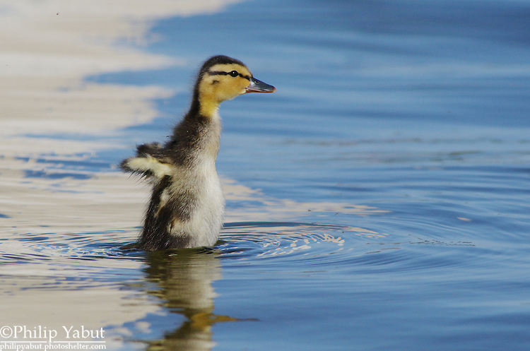 A mallard duckling (Anas platyrhynchos) tests its wings by standing out of the water in the Reflecting Pool.