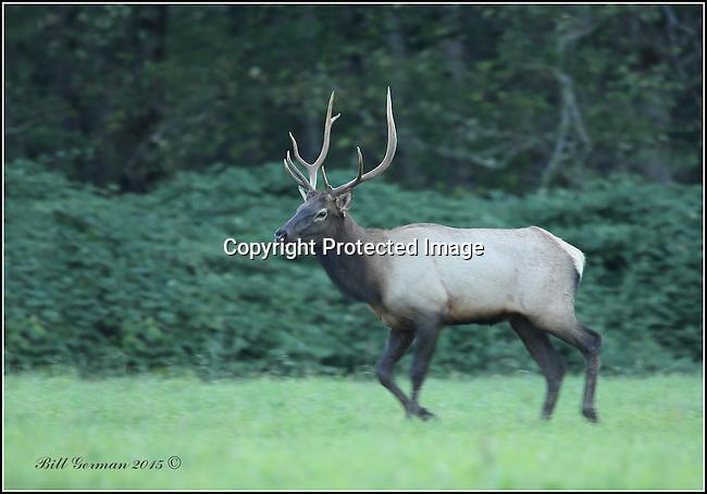 Bull elk, North Bend, Wa.
