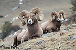Bedded bighorn sheep rams. Park County, Montana.
