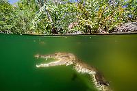 Morelet's crocodile, Crocodylus moreletii, aka Mexican crocodile, Cancun, Yucatan, Mexico