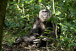 Africa, Uganda, Kibale National Park, Ngogo Chimpanzee Community.  Adult male chimpanzee, Berg, sits gazing up
