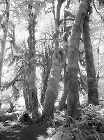 Hoh Rainforest in infrared.<br /> <br /> Kodak F3HP, 24mm lens, Kodak High Speed Infrared film, red filter