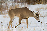 White-tailed buck (Odocoileus virginianus) after a long hard winter