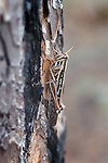 The coloring of the grasshopper blends into the colors of pine bark on the tree where it is resting.