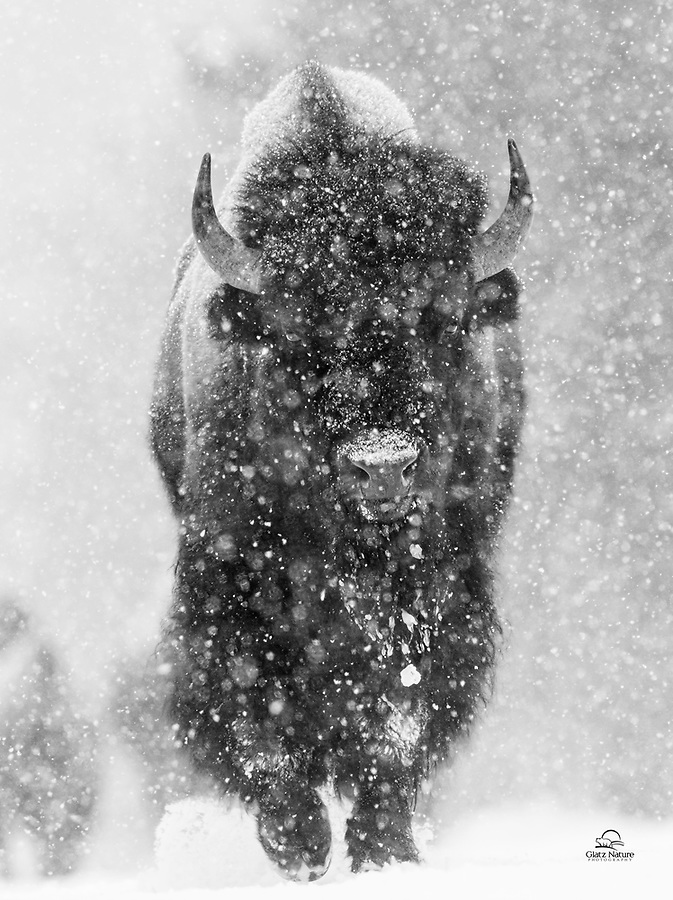 After a day of shooting in West Yellowstone, we were returning to the lodge. We encountered a herd of about 30 Bison (Bison bison) on the road, and the snow was really coming down. This young bull was leading the herd. We got very low and used telephoto lenses to compress the distance. Through the dumping snow and howling wind, we made eye contact with this magnificent animal. A true connection and a moment we will not forget.
