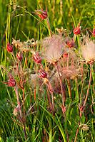 Prairie Smoke Wildflowers in Hayden Prairie State Preserve