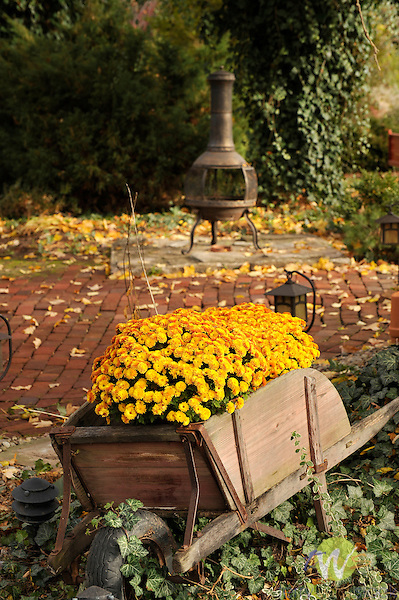 Old wheelbarrow and mums