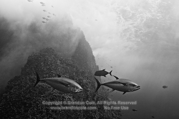 RM40216-Dbw. Yellowfin Tuna (Thunnus albacores), two large (1.2 meter long) adults near offshore islet Roca Partida. Baja, Mexico, Pacific Ocean. Color photo converted to black and white.<br /> Photo Copyright &copy; Brandon Cole. All rights reserved worldwide.  www.brandoncole.com