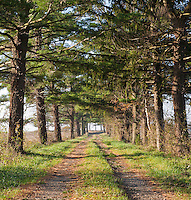 Morning sun on a dirt road lined with Pine Trees on both sides