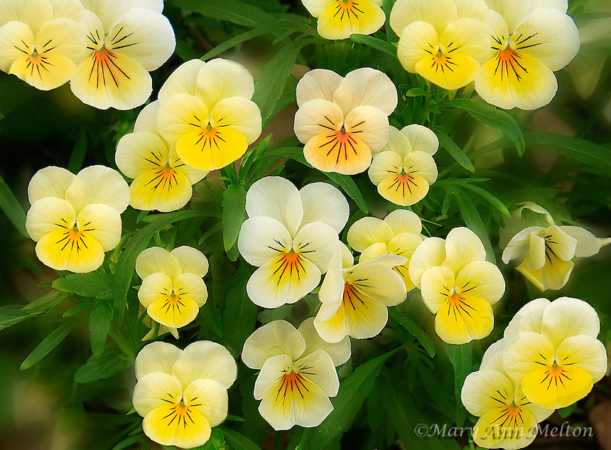 A digitally manipulated Pansy photo