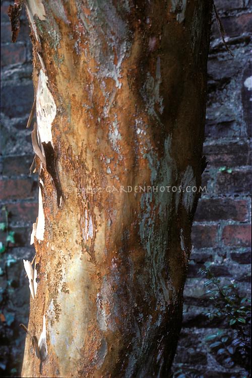 Luma apiculata mottled tree trunk bark
