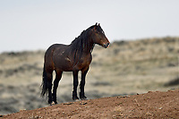 Wild Horse, McCullough Peaks, Wyoming