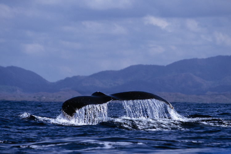 On Banderous Bay a hump backed whale dives showing a beautiful shaped tail