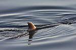 Minke whale dorsal fin
