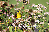 01640-16309 American Goldfinch (Spinus tristis) male in flower garden, Marion Co., IL