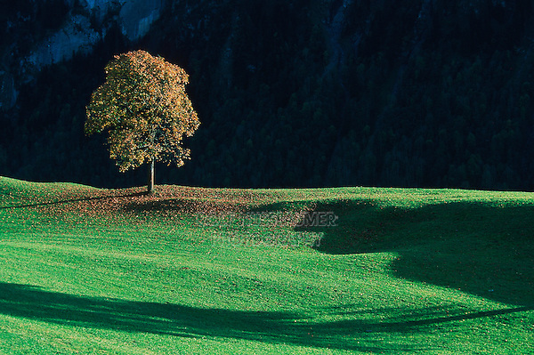 Linden tree (Tilia sp.), tree in summer, Switzerland