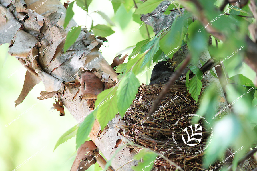 Stock photo: American robin bird sitting in her nest on a tree branch looking turning around.