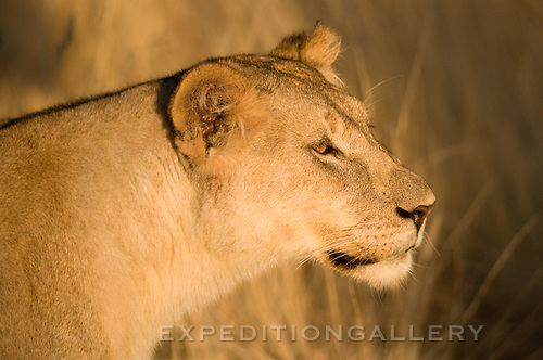 Lioness at sunset, Ongava Reserve, Etosha, Namibia. Could be anywhere in Southern Africa.