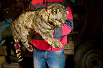 Andean Mountain Cat (Leopardus jacobita) stuffed animal held by herder, considered to bring good luck for the fertility of domesticated livestock, Abra Granada, Andes, northwestern Argentina
