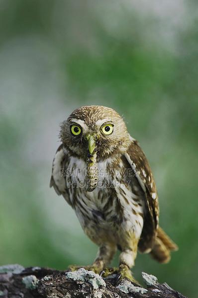 Ferruginous Pygmy-Owl, Glaucidium brasilianum, adult with worm prey, Willacy County, Rio Grande Valley, Texas, USA, June 2006