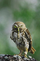 Ferruginous Pygmy-Owl, Glaucidium brasilianum, adult with worm prey, Willacy County, Rio Grande Valley, Texas, USA, June 2006