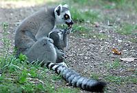 Un cucciolo di Lemure Catta del Madagascar nato in agosto, con la madre, nel Bioparco di Roma, 30 settembre 2009..A baby ringtail Lemur Catta, born on August, plays with its mother in Rome's Bioparco, 30 september 2009..UPDATE IMAGES PRESS/Riccardo De Luca