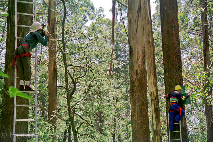 Esther Beaton photographing researcher, while up a Mountain Ash tree and roped to ladder. Central Highlands, Victoria.